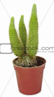 Little cactus isolated on white