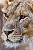 Close-up of Lioness