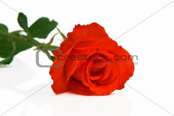Abstract photo of rose flower