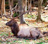 Elk Resting on a Fall Day