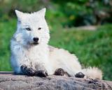 Young Arctic Wolf Lying Down on a Rock