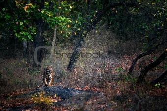 A huge male Tiger walks straight head .