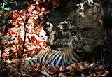 Young Bengal tiger.