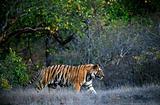 Bengal tiger.