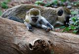 Vervet Monkey cub with mother.
