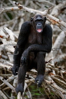 Portrait of the adult female of a chimpanzee.