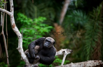 Portrait of the adult male  chimpanzee.