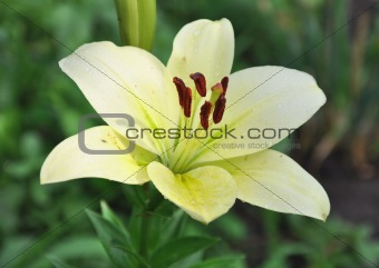 Beautiful yellow lily with dew drops
