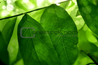 Beautiful green tee leafs