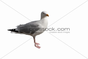 seagull, isolated