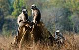 Gray langurs/ Presbytis entellus