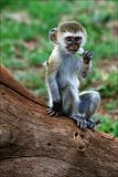 Vervet Monkey cub.