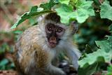 Vervet Monkey kid.