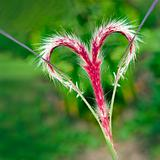 A beautiful red grass flower forming a love heart
