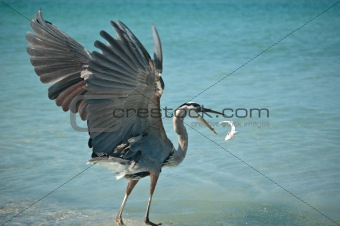 Great Blue Heron Tossing a Fish in the Air