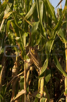 corn ear vertical