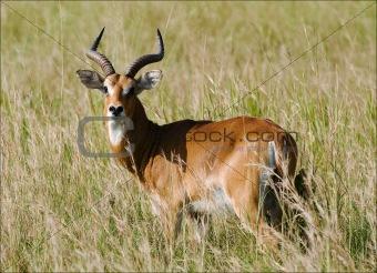 Antelope  impala.