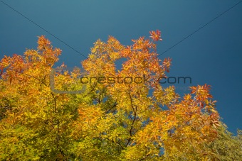 Autumn-colored maple