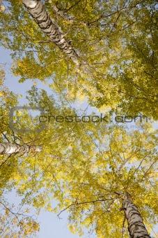 Tops of autumn birch