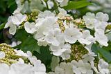 Blooming viburnum