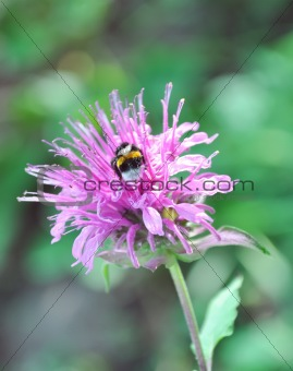Bright beautiful flower and bumblebee with dew drops