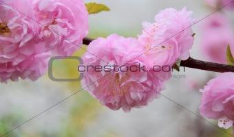 beautiful pink blossom almonds brunch
