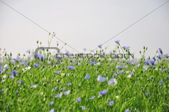 Blue and white flowers over grey sky