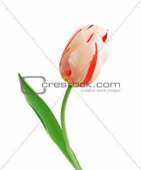 Beautiful tulip isolated on white background