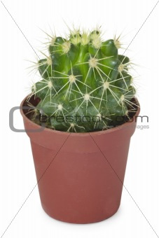 Cactus in pot isolated on white