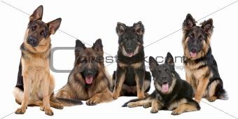 Group of German Shepherd dogs
