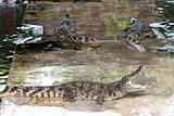 Show crocodile