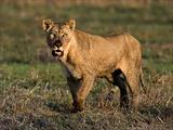 The had dinner lioness