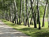 Birch trees in summer day