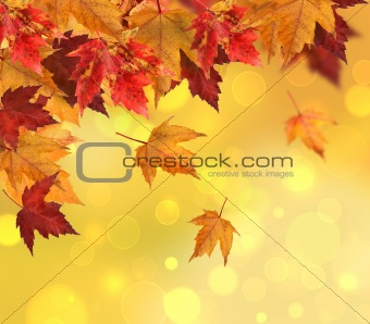Branch of maple leaves isolated on white