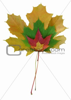 Four maple leaves of different colors and size