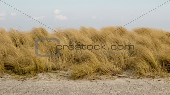 Beachgrass, Ammophila