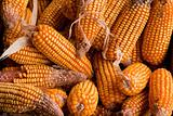 Bountiful havest of golden yellow dried corn cobs
