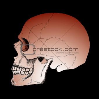 Skull on the black background