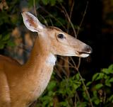 Dusk doe portrait