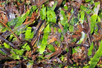 algae seaweed posidonia oceanica dried and green