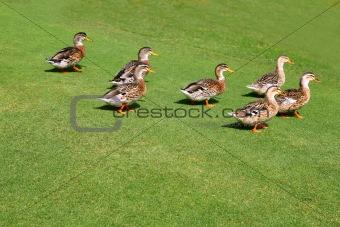 flock of ducks walking in garden green grass