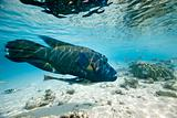 Humphead wrasse Cheilinus undulatus