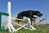 puppy beauceron in agility