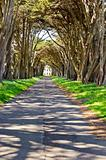 Monterey cypress tree tunnel