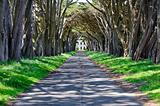 Monterrey cypress tree tunnel