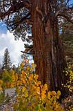 Pine tree and Aspen