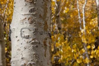 Aspen Tree Trunk