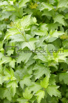 Green foliage on guelder-rose bush