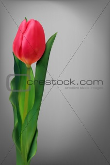 Single red flower tulip.