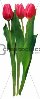 Three crossed pink tulips